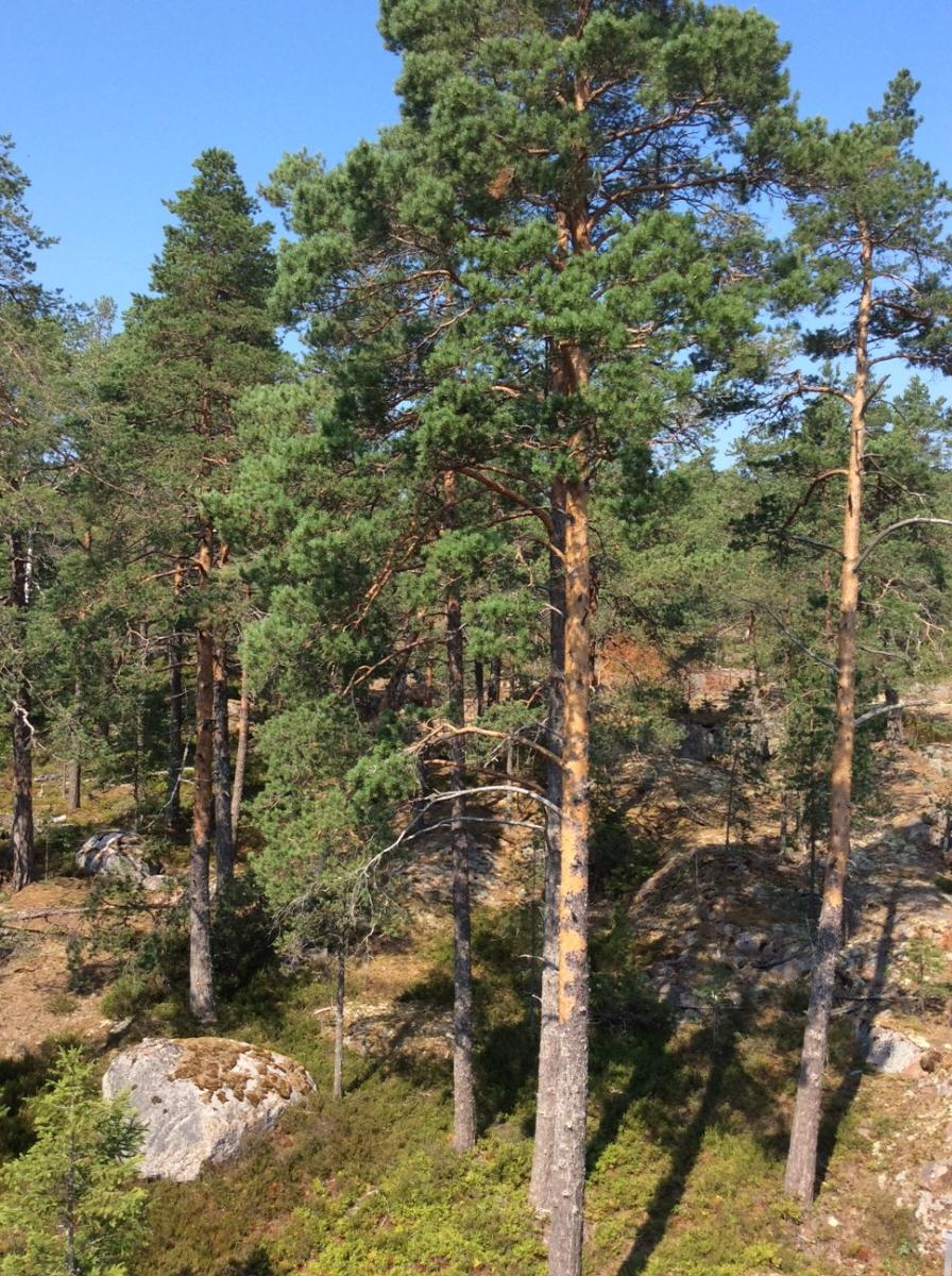 Näkymää parvekkeen päädystä mäntyvoittoiseen metsään. title=