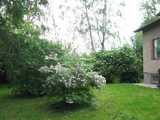 Kesällä piha kukkii. Pihalla mm. luumupuu.