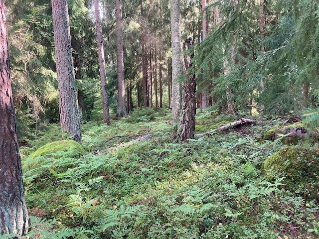 Luonnon metsää, isoja petäjiä title=