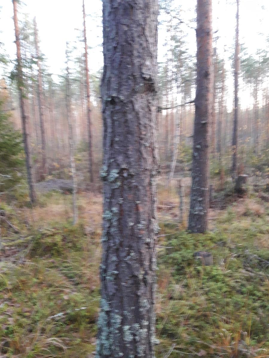 Kuvio 1.1 Hyvälaatuista mäntyä.