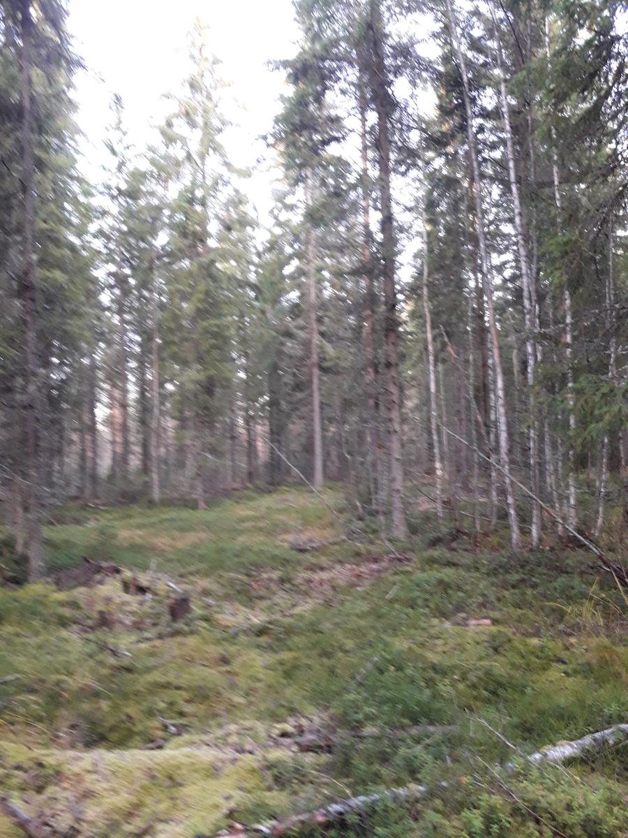 Kuvio 1. Kuusivaltaista metsää.